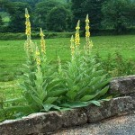 Il Verbasco (Verbascum thapsus)